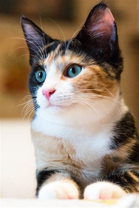 calico cats cat female facts male cute pretty why always there funny baby read every single