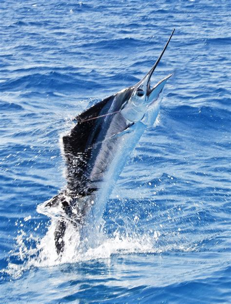 florida fish fishing key west catch marlin beach myers sport shirts ore bigger
