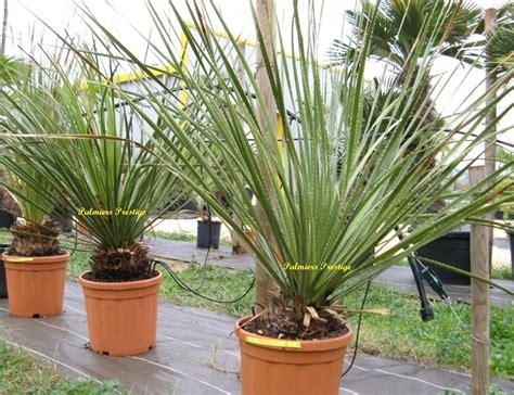 plantes exotiques pour jardin et terrasse en vente chez palmiers prestige