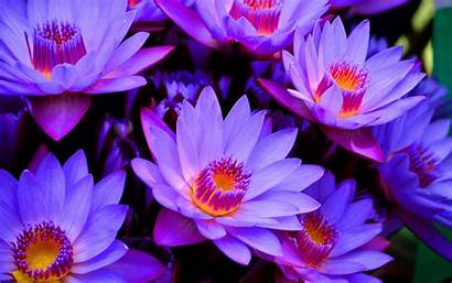 Lotus Flower Wallpapers Wide Wallpapertag