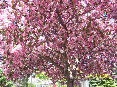 cherry blossom tree l cherry blossom tree wallpaper cherry cherries