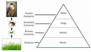 Food Chains, Food Webs, and Energy Pyramids | Texas Gateway