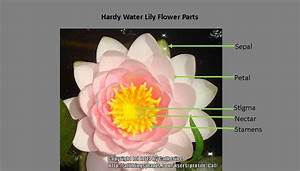 Parts Of A Water Lily Flower Pictures To Pin On Pinterest