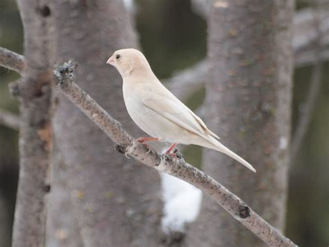 leucistic house finch birds and blooms