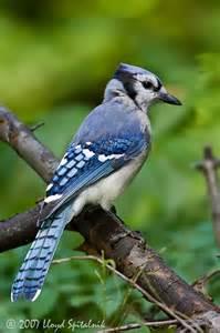 Blue Jay Bird with Black Head
