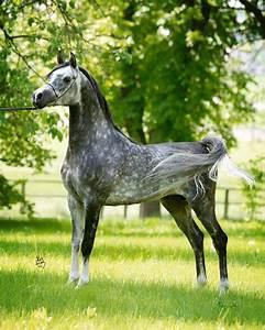 Dapple grey | Arab Horses (Closed) | Pinterest