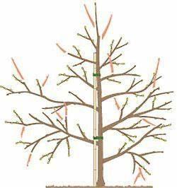 Kirschbaum Richtig Schneiden : apfelbaum schneiden tipps f r jede baumgr e garten apfelb ume schneiden apfelbaum und garten ~ Frokenaadalensverden.com Haus und Dekorationen