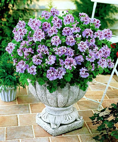 scented geraniums uk 17 best ideas about geranium plant on pinterest geranium flower fall potted plants and is c