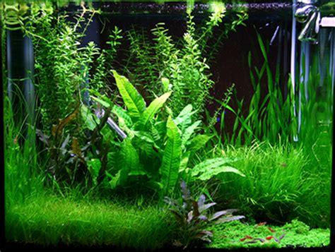 aquarium eau douce plantes