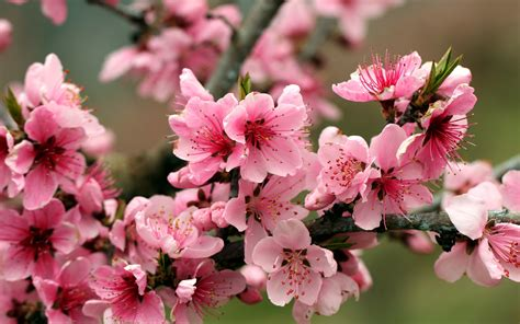 Jan 28, 2020 · the name derives from its blossoming coinciding with western japan's spring equinox, called higan. Spring Apple Tree Pink Flowers Blossoms 2560x1600 ...
