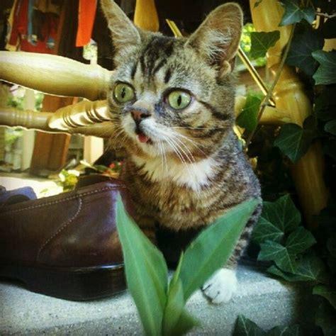 lil bub cat animals