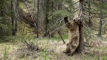 Bear Grizzly Gifs Brown Animals Animal Carly