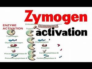 Zymogen activation - YouTube