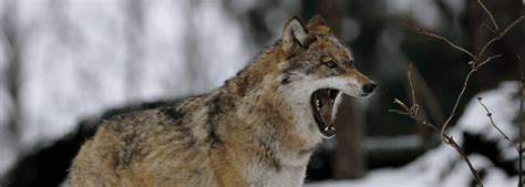 ways  survive  wolf attack tv shows history