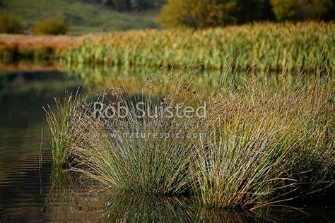 wetland native rushes  edge  pond  juncus