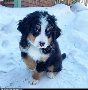 42 best images about Bernese mountain dog on Pinterest ...