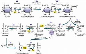 Glycolysis   Feeder Pathway  U2013 Biogenediary