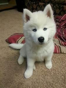 Best 25+ White siberian husky ideas on Pinterest   White ...