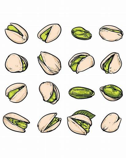 Pistachios Pistachio Drawn Hand Vector Drawing Drawings