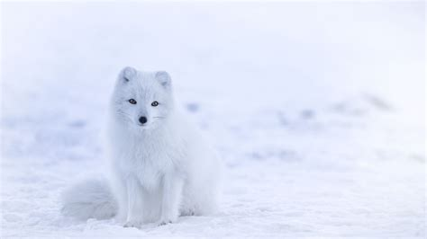wallpaper arctic fox cute animals winter snow white