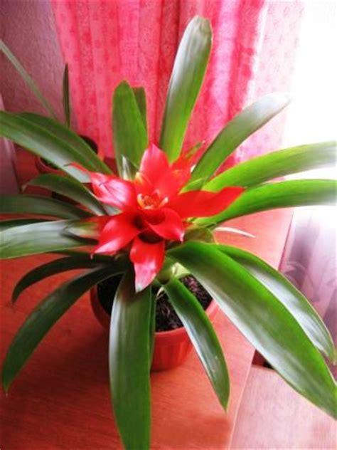 Zimmerpflanze Rote Blätter by Guzmania Zimmerblumen