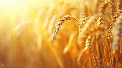 Barley Nutrition Grain Whole Ancient Brew Feed