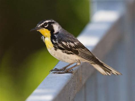 san diego birding birding california and beyond with
