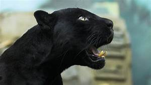 Rare Black Jaguar Spotted in Amazon - Evolve Tours