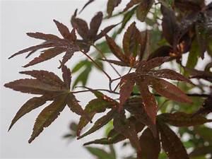 Japanischer Ahorn Standort Sonne : japanischer ahorn acer palmatum moonfire g nstig online kaufen ~ Eleganceandgraceweddings.com Haus und Dekorationen