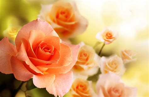 Attractive Orange Roses Wallpapers Hd Morewallpaperscom