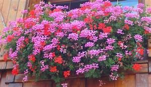 Jardiniere Fleurie Plein Soleil : fleurs balcon plein soleil choisir des fleurs de balcon ~ Melissatoandfro.com Idées de Décoration