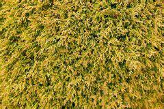thuja stark zurückschneiden thuja ausgraben 187 so pflanzen sie den lebensbaum um