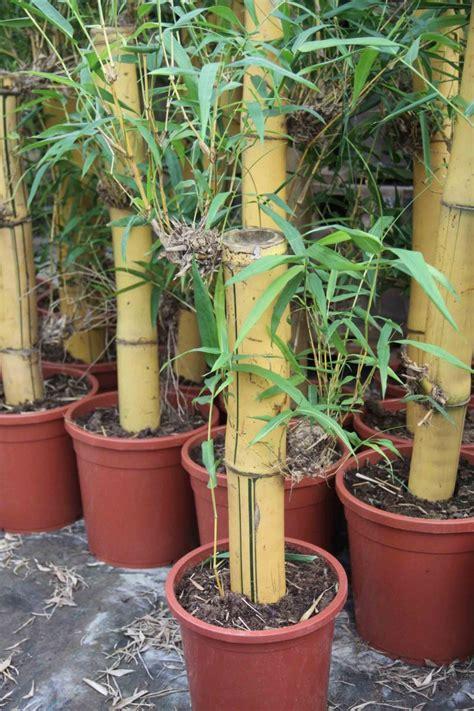 bambus als zimmerpflanze bambus pflanzenshop bambus f 252 r innenr 228 ume