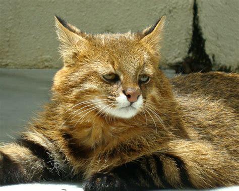 pampas cat facts diet habitat pictures  animaliabio