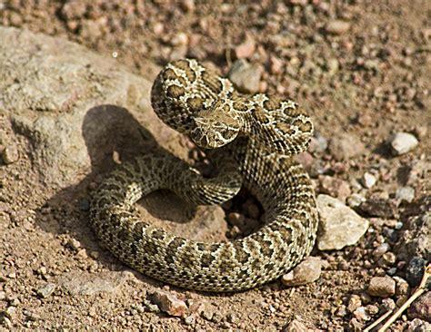 Picture Rattlesnake Baby Snake