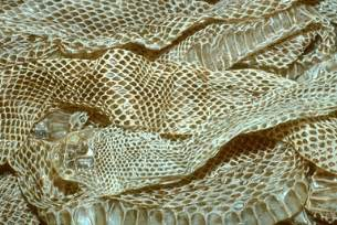 painet licensed rights stock photo of shedded snake skin