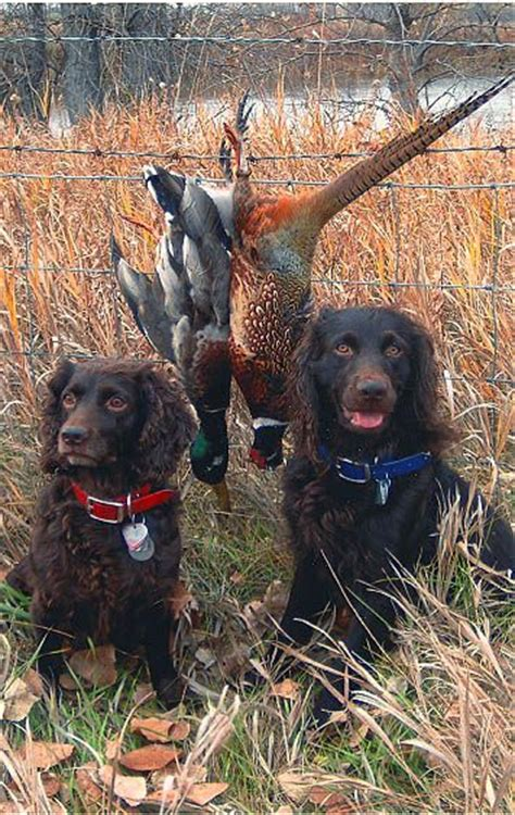 www pinterest com 1895gunner the boykin spaniel is a
