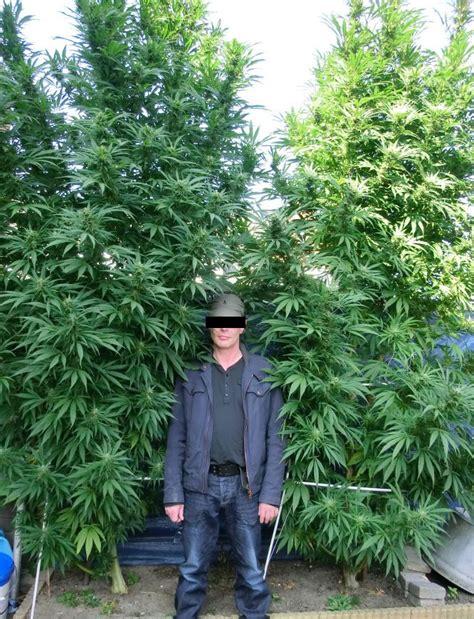 chambre culture cannabis plante de cannabis interieur 28 images utiliser l