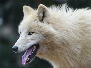 Polar wolf profile | A nice profile portrait of one of the ...
