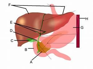 Digestive System Organs Diagram Ma 130 Concorde Flashcards