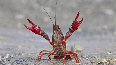 Berlin Crayfish Panic As Tiergarten Overrun With Red