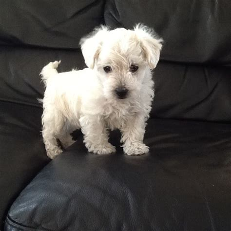 Dogs That Shed The Least by West Highland Terrier X Toy Poodle Kings Lynn Norfolk