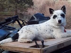 White Blue Heeler Dog | www.imgkid.com - The Image Kid Has It!