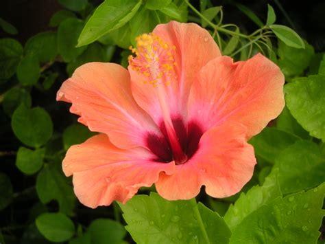 hibiscus en pot a l exterieur hibiscus d int 233 rieur rosa sinensis et sabdariffa