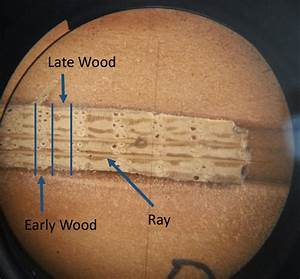 Oak Tree Rings Observed Through A Microscope New Growth