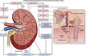 Blood Supply To Kidney
