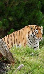 Tiger Album   Jukani Wildlife Sanctuary, Plettenberg Bay ...
