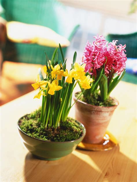flowers to grow indoors growing bulbs indoors hgtv