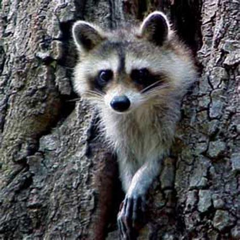 roguish raccoons gulf islands national seashore