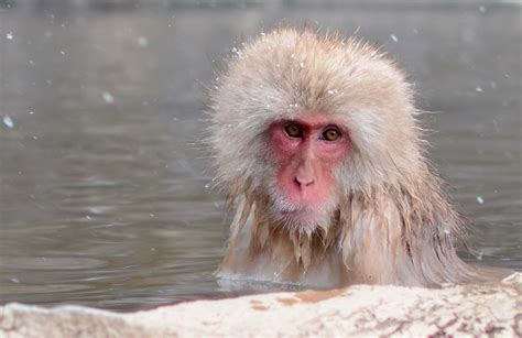 Snow Monkey Park In Yamanouchi, Japan  Little Tranquility